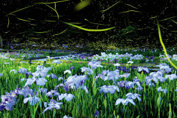 Fireflies dance around Japanese irises
