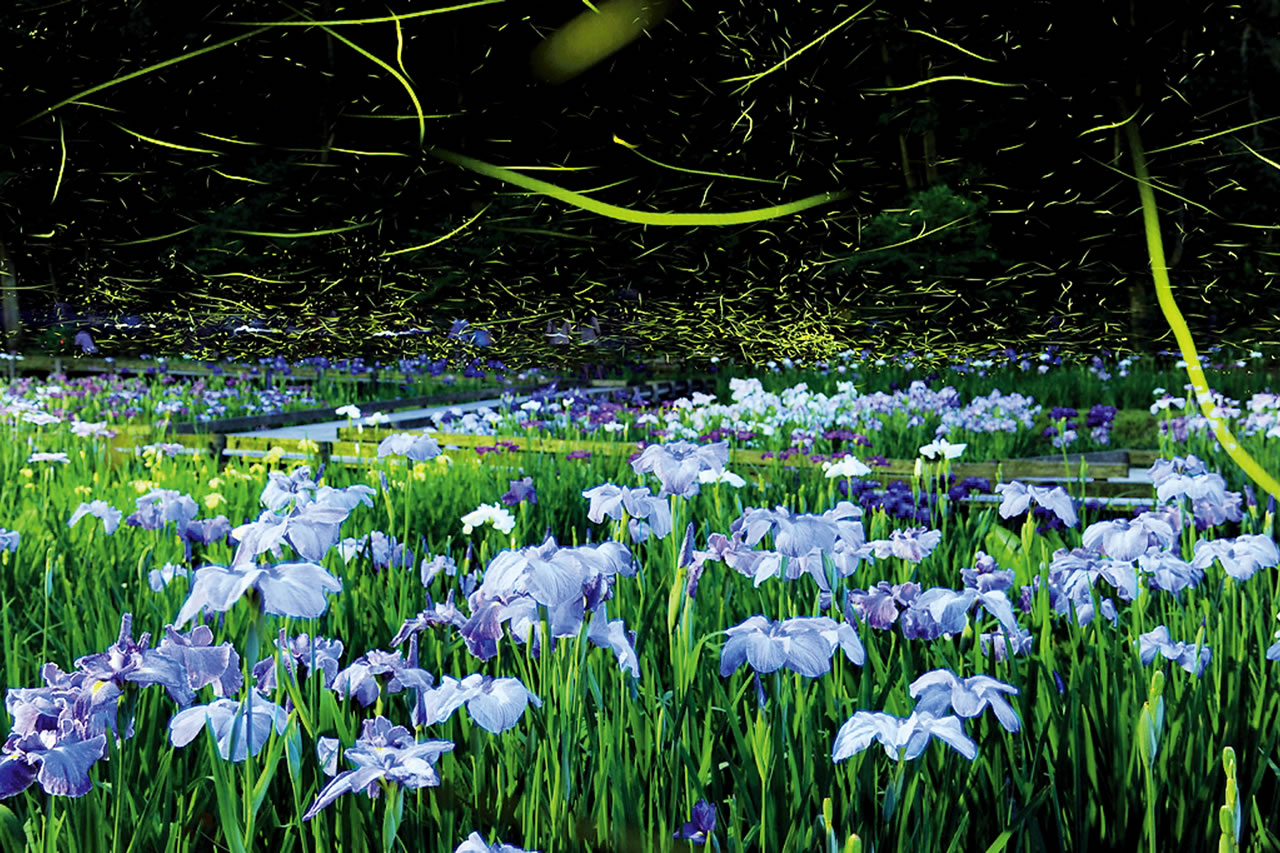 Fireflies dance around Japanese irises