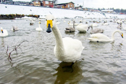 Meet the swans passing the winter on the river