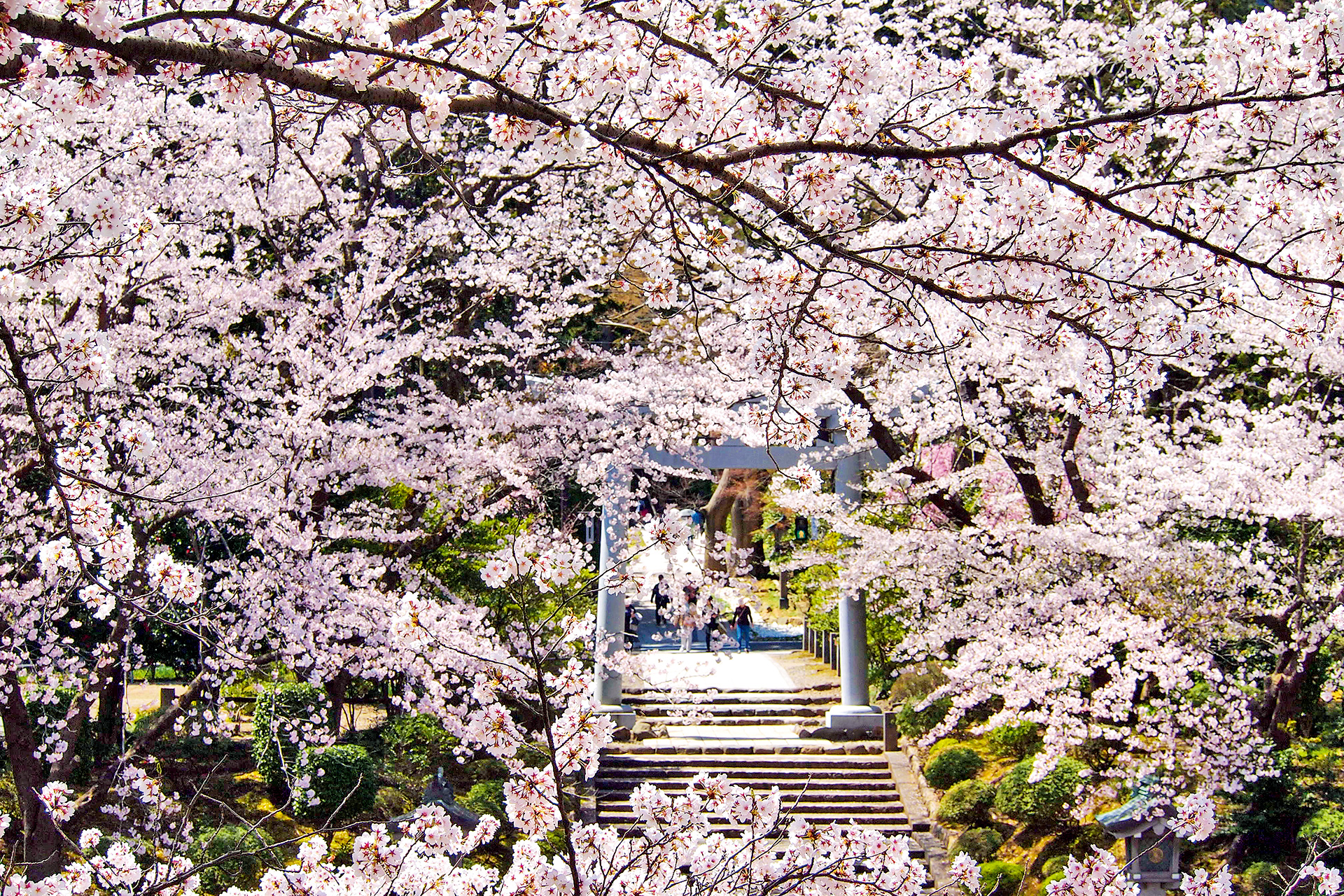 View the cherry blossoms in full bloom at Yahiko Shrine